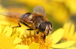 Close Up Detail of a Hover-Fly. (Volucella zonaria) feeding on  a yellow flower head Stock Photography