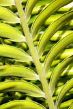 Close Up Detail Of Leaf On Cycad Plant Stock Image