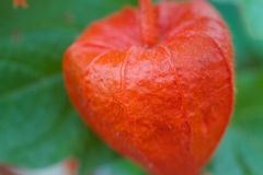 Close up Detail Macro Distance to a Single Chinese Lantern flower plant Royalty Free Stock Images