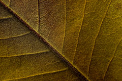 Close Up Detail of Magnolia Tree Leaf Royalty Free Stock Photo
