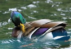 Mallard Duck. Close up detail of Male Mallard duck preening Royalty Free Stock Photos