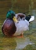Mallard Duck. Close up detail of Male Mallard duck standing in water Royalty Free Stock Photo