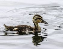Baby Mallard Duck. Close up detail of Mallard duckling swimming in water Stock Photo