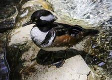 Male Hooded Merganser Duck. Close up detail of Merganser diving duck on rock Stock Photos