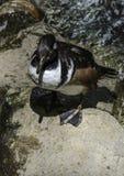 Male Hooded Merganser Duck. Close up detail of Merganser diving duck on rock Stock Photo