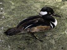 Male Hooded Merganser Duck. Close up detail of Merganser diving duck standing Royalty Free Stock Images