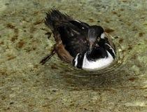 Male Hooded Merganser Duck. Close up detail of Merganser diving duck swimming Stock Image