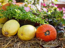 Pumpkins and spaghetti squash next to flowers Stock Photography