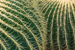 Close-up Detail Of Echinocactus Grusonii Cactus, With Unfocused Background, In The Arganzuela Greenhouse Of Madrid Stock Photography