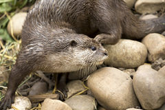 Close up detail of an otter Stock Photos