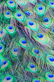 Close-up detail of a peacock's tail feathers. Stock Photo