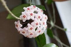 Free Close-up Detail Photo Of Flower Wax Plant Or Hoya Carnosa. Hatural Home Plant. Royalty Free Stock Photo - 181685755
