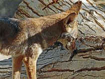 Coyote. Close Up Detail Portrait of American Jackal Royalty Free Stock Photo