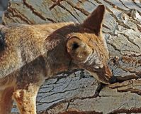 Coyote. Close Up Detail Portrait of American Jackal Stock Image