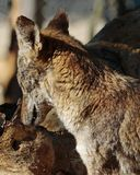 Coyote. Close Up Detail Portrait of American Jackal Royalty Free Stock Images