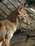 Coyote. Close Up Detail Portrait of American Jackal Stock Images