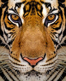 Close-up detail portrait of tiger Royalty Free Stock Images