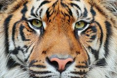 Close-up detail portrait of tiger. Sumatran tiger, Panthera tigris sumatrae, rare tiger subspecies that inhabits the Indonesian is Stock Photo