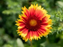 Close-up detail of a red and yellow firewheel flower petals gail. Beautiful gaillardia is growing on a green meadow. Live nature** Note: Shallow depth of field Royalty Free Stock Photos