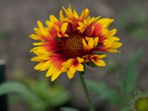 Close-up detail of a red and yellow firewheel flower petals gail. Beautiful gaillardia is growing on a green meadow. Live nature** Note: Shallow depth of field Royalty Free Stock Images