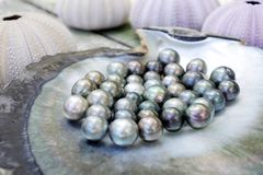 Tahitian Black Pearls in a Black lip oyster shell Royalty Free Stock Photos