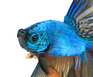 Close-up detail of Siamese fighting fish,colorful half moon type. Royalty Free Stock Images