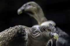 Andean Condor Royalty Free Stock Image