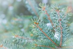 Spruce tree branches with water droplets and snow royalty free stock photography
