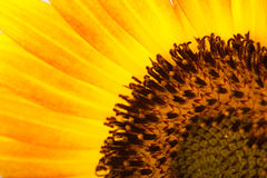 Close-up detail of sunflower Stock Image