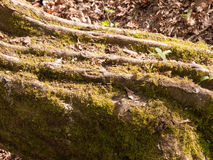 Close up Detail of Tree Bark with Green Moss on the Forest Floor Royalty Free Stock Images