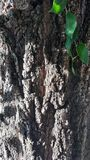 Close up detail of tree bark with some green leaves. Of ivy Royalty Free Stock Image