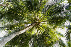 Close up detail of a tropical coconut palm tree variety found in Stock Image