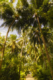 Close up detail of a tropical coconut palm tree variety found in Royalty Free Stock Photography