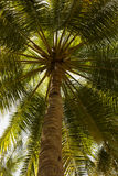 Close up detail of a tropical coconut palm tree variety found in Royalty Free Stock Photos