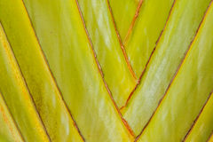 Close-up detail of the trunk of a Traveler's Palm (Ravenala Madagascariensis). Abstract nature backgrounds. Stock Image