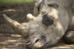 Close up detail of white rhino head Royalty Free Stock Photography
