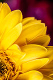 Yellow flower. Close up detail of yellow gerbera flower Royalty Free Stock Photo