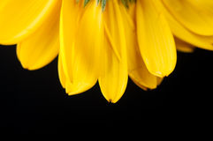 Yellow flower. Close up detail of yellow gerbera flower on black background Stock Photography