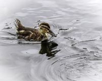 Baby Duck Swimming. Close up detail of young Mallard duckling swim Royalty Free Stock Images