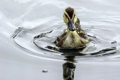 Baby Duck Swimming. Close up detail of young Mallard duckling swim Stock Photos