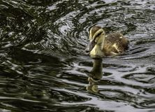 Baby Ducks. Close up detail of young Mallard duckling swimming Stock Photo