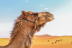 Camel head in wide desert Royalty Free Stock Photo
