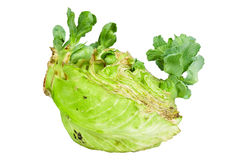 Close up detailed image of cabbage sprouts Royalty Free Stock Photo
