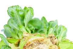 Close up detailed image of cabbage sprouts Royalty Free Stock Image