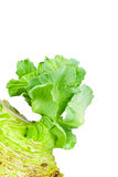 Close up detailed image of cabbage sprouts Stock Image