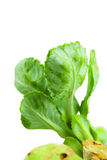 Close up detailed image of cabbage sprouts Royalty Free Stock Images