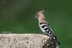 Close-up and detailed photo of the hoopoe. Sitting on a pile of construction waste on a beautiful blurred background stock photo