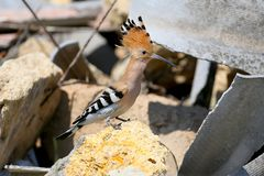 Close-up and detailed photo of the hoopoe. Sitting on a pile of construction waste on a beautiful blurred background royalty free stock photo