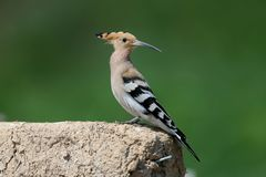 Close-up and detailed photo of the hoopoe. Sitting on a pile of construction waste on a beautiful blurred background stock photography
