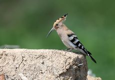 Close-up and detailed photo of the hoopoe. Sitting on a pile of construction waste on a beautiful blurred background stock photos